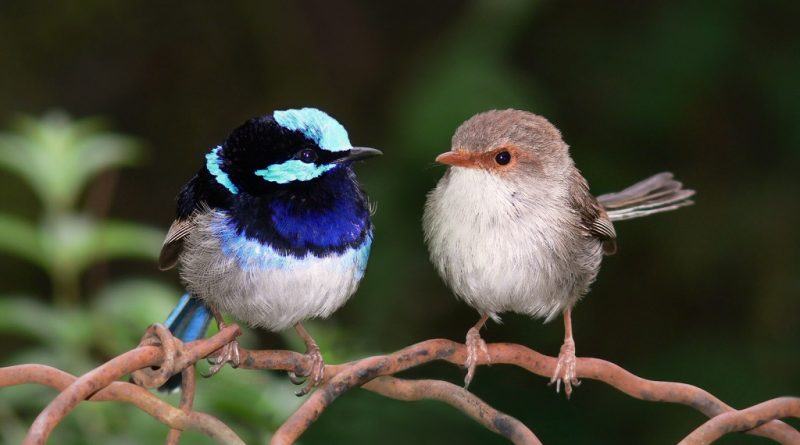 superb_fairy_wrens-ornaat-elfjes