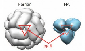 Het past allemaal precies: Links de ferritine-bol met daarin uitsparingen van 28 nanometer, exact de diameter van een Hemaglutinine (HA) punt (bestaande uit 3 HA moleculen) aan de rechterkant. Credit: Kanekiyo et al, 2013. Nature