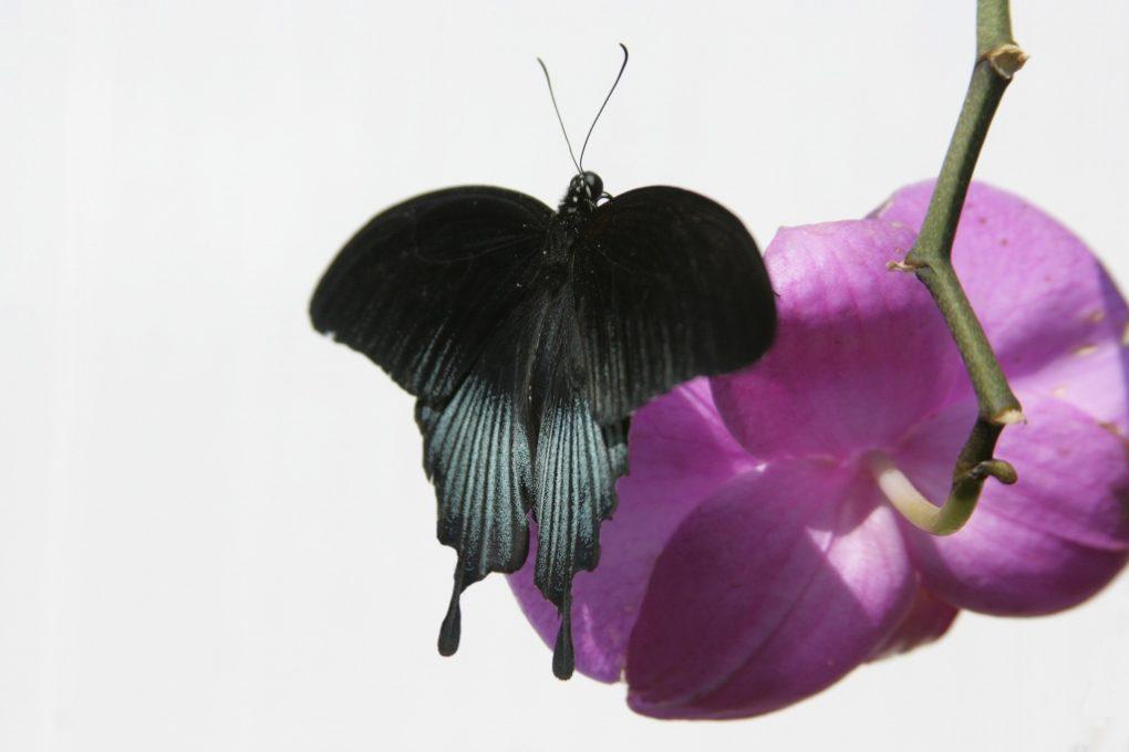 vlinder op orchidee (1024×683)