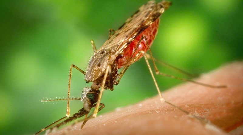 Malariamug lust zowel mens als aap